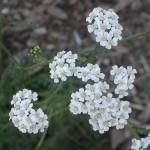 1062px-Achillea_millefolium_capitula_2002-11-18