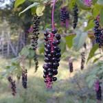 450px-Phytolacca-americana-berries